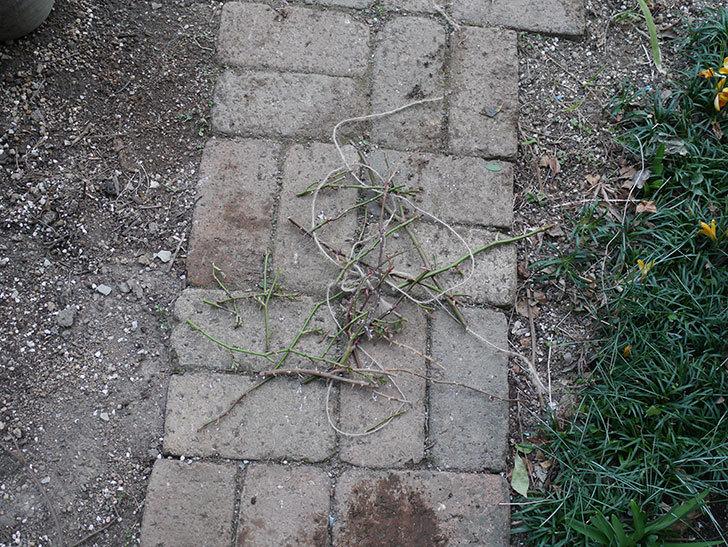 ラ・ドルチェ・ヴィータ(La Dolce Vita)の冬剪定をした。木立バラ。2021年-009.jpg