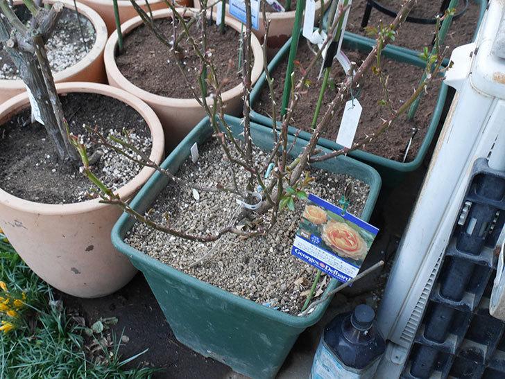ラ・ドルチェ・ヴィータ(La Dolce Vita)の冬剪定をした。木立バラ。2021年-011.jpg