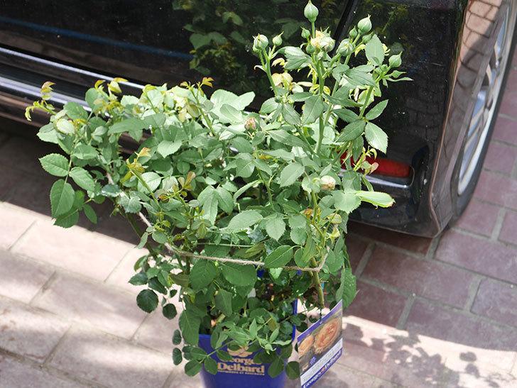 ラ・ドルチェ・ヴィータ(La Dolce Vita)の大苗(鉢植え苗)を買った。2020年-001.jpg