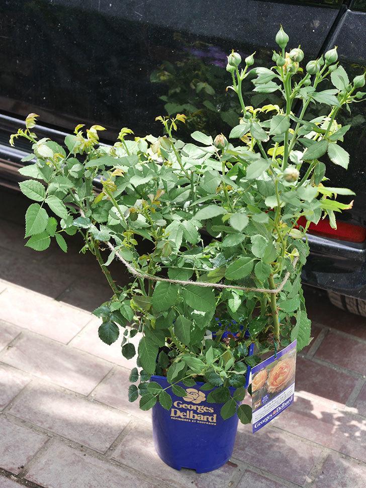 ラ・ドルチェ・ヴィータ(La Dolce Vita)の大苗(鉢植え苗)を買った。2020年-002.jpg