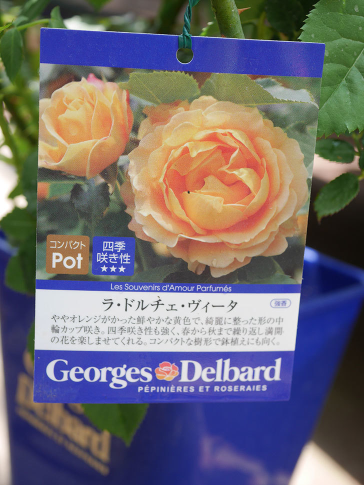 ラ・ドルチェ・ヴィータ(La Dolce Vita)の大苗(鉢植え苗)を買った。2020年-006.jpg