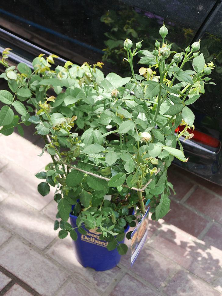 ラ・ドルチェ・ヴィータ(La Dolce Vita)の大苗(鉢植え苗)を買った。2020年-008.jpg