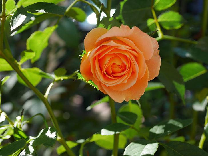 ラ・ドルチェ・ヴィータ(La Dolce Vita)の秋花が咲いた。木立バラ。2020年-001.jpg