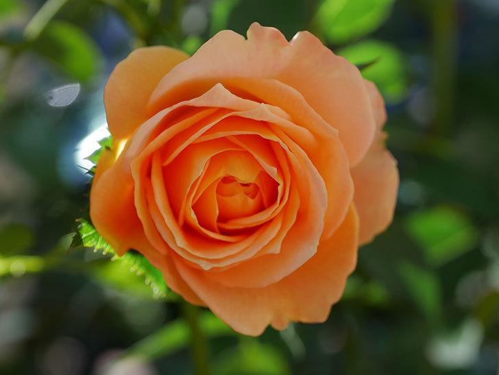 ラ・ドルチェ・ヴィータ(La Dolce Vita)の秋花が咲いた。木立バラ。2020年-002.jpg