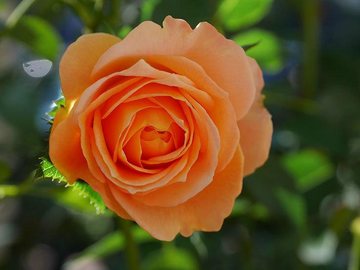 ラ・ドルチェ・ヴィータ(La Dolce Vita)の秋花が咲いた。木立バラ。2020年-003.jpg