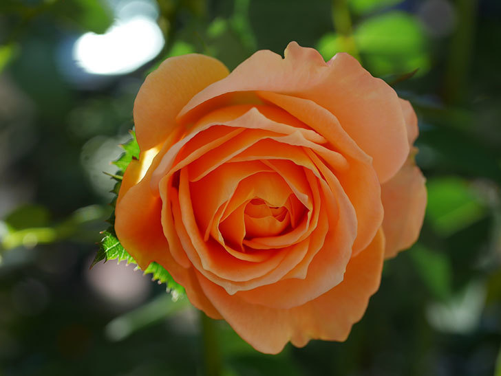 ラ・ドルチェ・ヴィータ(La Dolce Vita)の秋花が咲いた。木立バラ。2020年-004.jpg