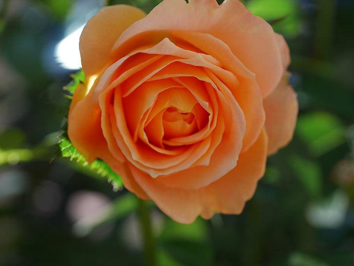 ラ・ドルチェ・ヴィータ(La Dolce Vita)の秋花が咲いた。木立バラ。2020年-005.jpg