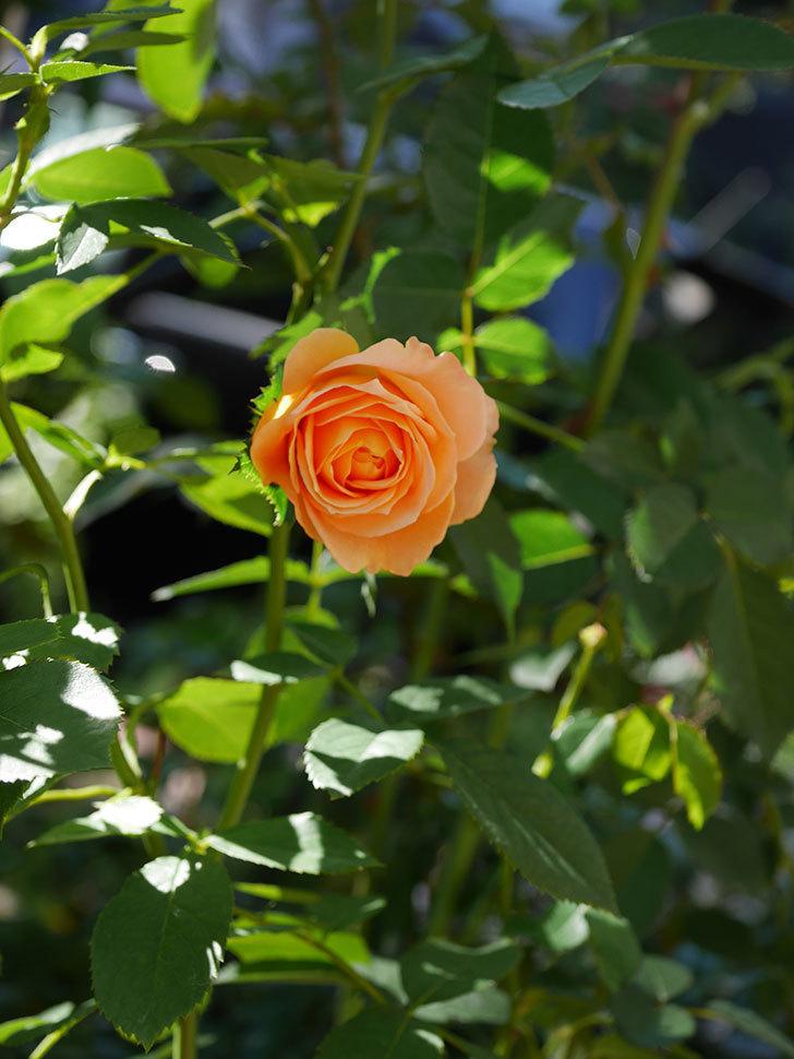 ラ・ドルチェ・ヴィータ(La Dolce Vita)の秋花が咲いた。木立バラ。2020年-006.jpg