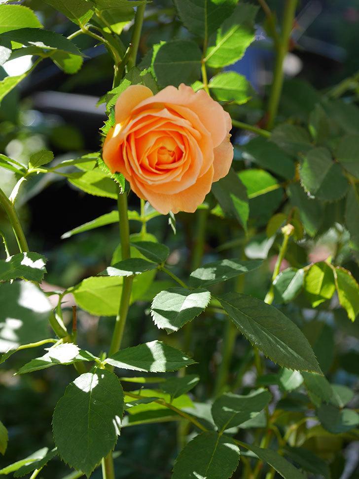 ラ・ドルチェ・ヴィータ(La Dolce Vita)の秋花が咲いた。木立バラ。2020年-007.jpg