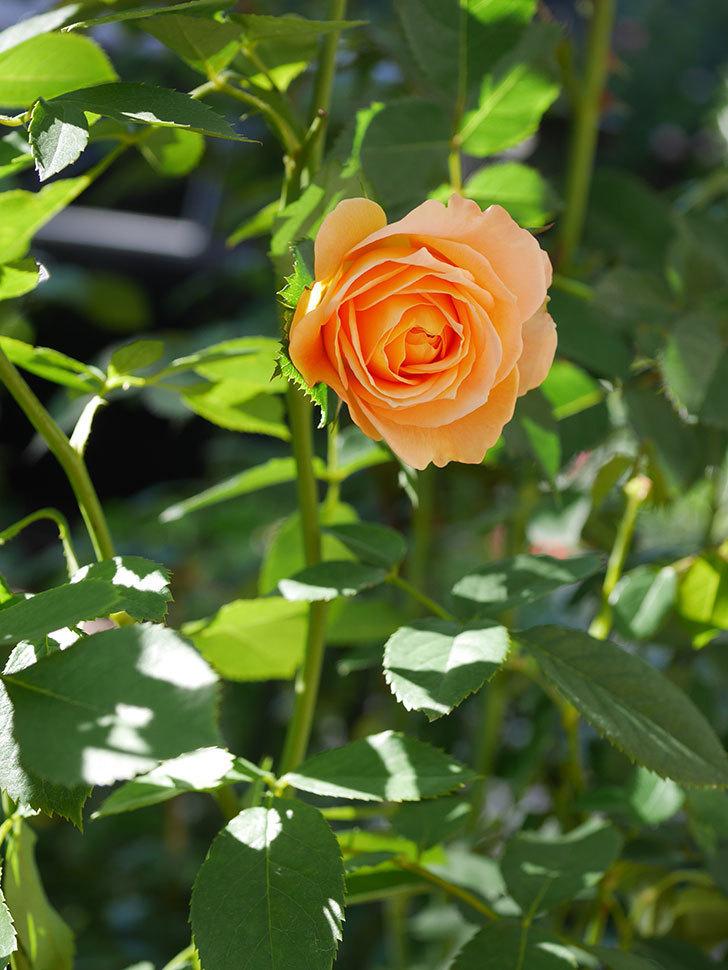 ラ・ドルチェ・ヴィータ(La Dolce Vita)の秋花が咲いた。木立バラ。2020年-008.jpg