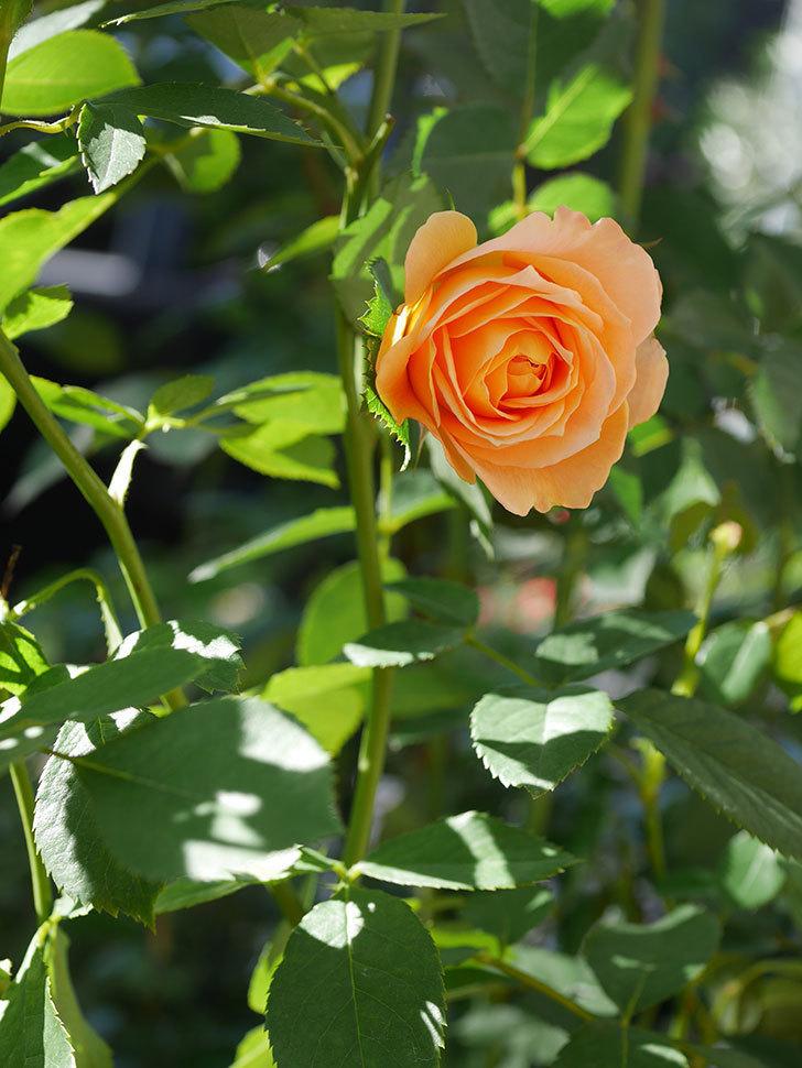 ラ・ドルチェ・ヴィータ(La Dolce Vita)の秋花が咲いた。木立バラ。2020年-009.jpg