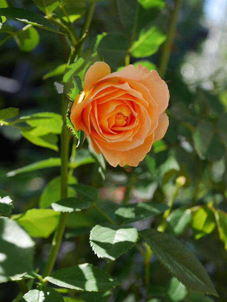 ラ・ドルチェ・ヴィータ(La Dolce Vita)の秋花が咲いた。木立バラ。2020年-010.jpg
