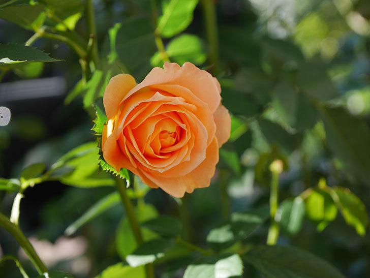 ラ・ドルチェ・ヴィータ(La Dolce Vita)の秋花が咲いた。木立バラ。2020年-011.jpg