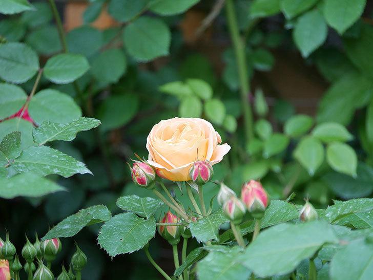 ラ・ドルチェ・ヴィータ(La Dolce Vita)の花がぽつぽつ咲きだした。木立バラ。2021年-001.jpg