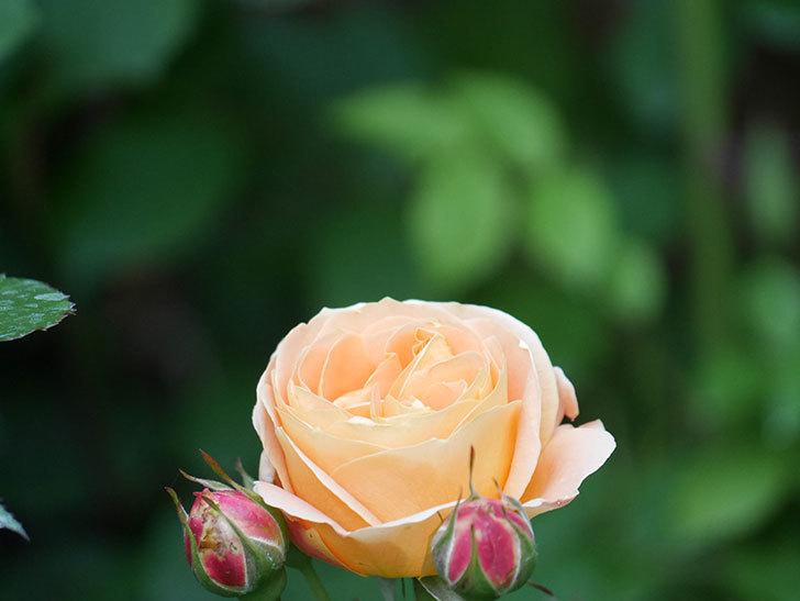 ラ・ドルチェ・ヴィータ(La Dolce Vita)の花がぽつぽつ咲きだした。木立バラ。2021年-002.jpg