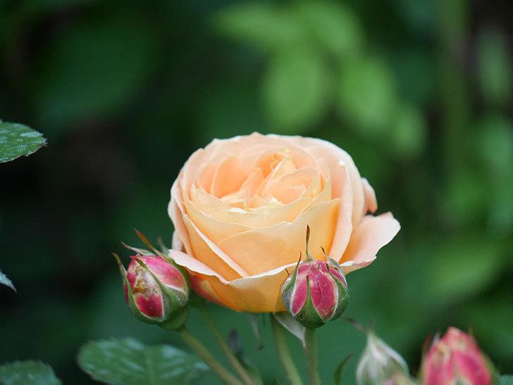 ラ・ドルチェ・ヴィータ(La Dolce Vita)の花がぽつぽつ咲きだした。木立バラ。2021年-003.jpg