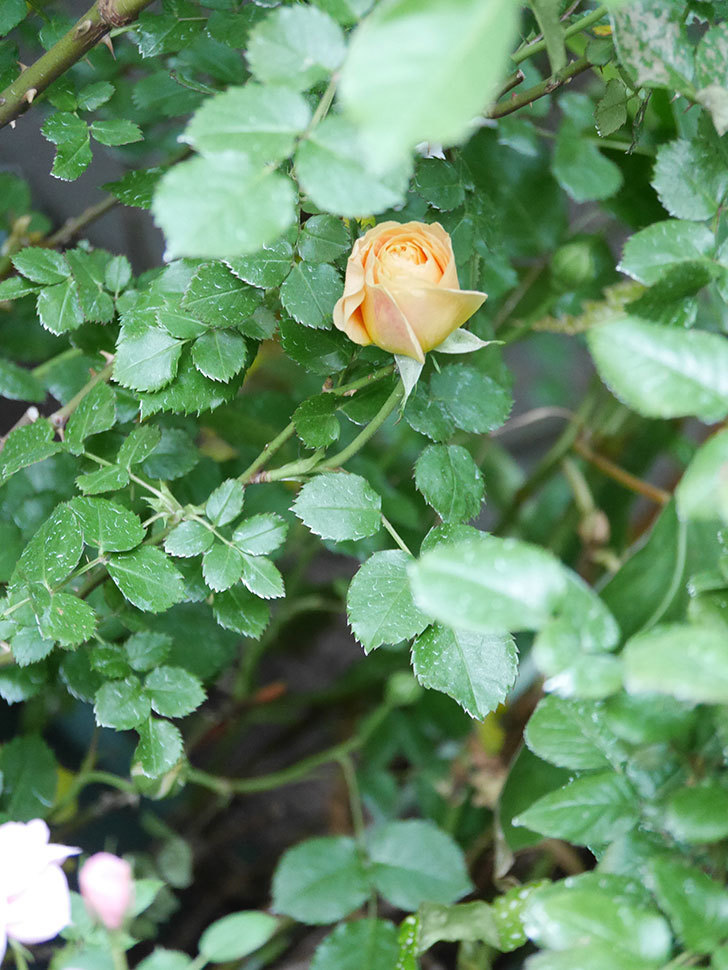 ラ・ドルチェ・ヴィータ(La Dolce Vita)の花がぽつぽつ咲きだした。木立バラ。2021年-004.jpg