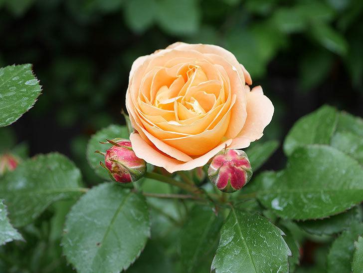 ラ・ドルチェ・ヴィータ(La Dolce Vita)の花がぽつぽつ咲きだした。木立バラ。2021年-005.jpg