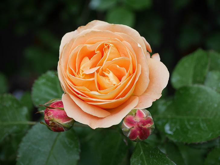 ラ・ドルチェ・ヴィータ(La Dolce Vita)の花がぽつぽつ咲きだした。木立バラ。2021年-006.jpg