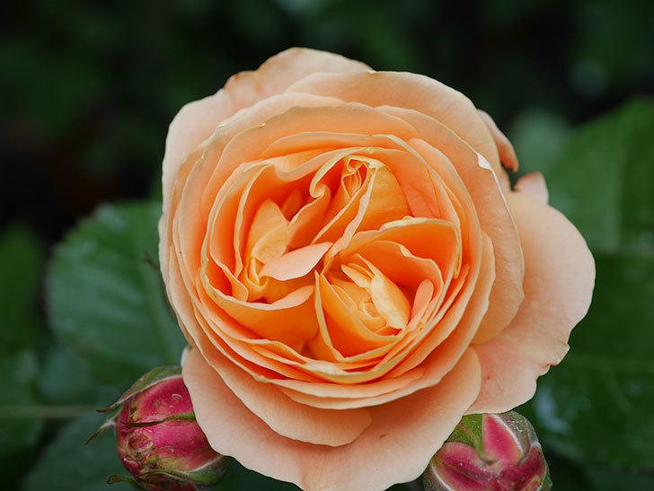 ラ・ドルチェ・ヴィータ(La Dolce Vita)の花がぽつぽつ咲きだした。木立バラ。2021年-007.jpg