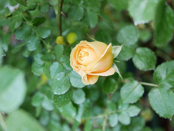 ラ・ドルチェ・ヴィータ(La Dolce Vita)の花がぽつぽつ咲きだした。木立バラ。2021年-010.jpg
