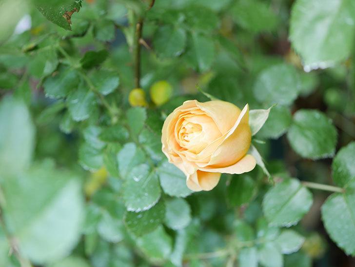 ラ・ドルチェ・ヴィータ(La Dolce Vita)の花がぽつぽつ咲きだした。木立バラ。2021年-011.jpg