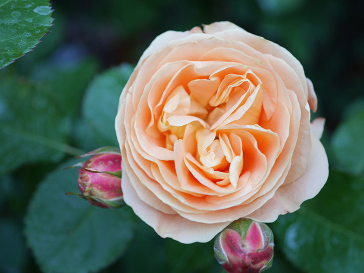 ラ・ドルチェ・ヴィータ(La Dolce Vita)の花がぽつぽつ咲きだした。木立バラ。2021年-012.jpg