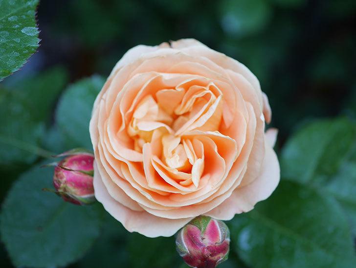 ラ・ドルチェ・ヴィータ(La Dolce Vita)の花がぽつぽつ咲きだした。木立バラ。2021年-013.jpg