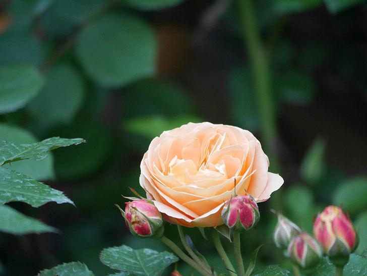 ラ・ドルチェ・ヴィータ(La Dolce Vita)の花がぽつぽつ咲きだした。木立バラ。2021年-014.jpg
