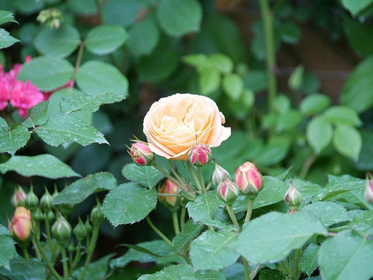 ラ・ドルチェ・ヴィータ(La Dolce Vita)の花がぽつぽつ咲きだした。木立バラ。2021年-015.jpg