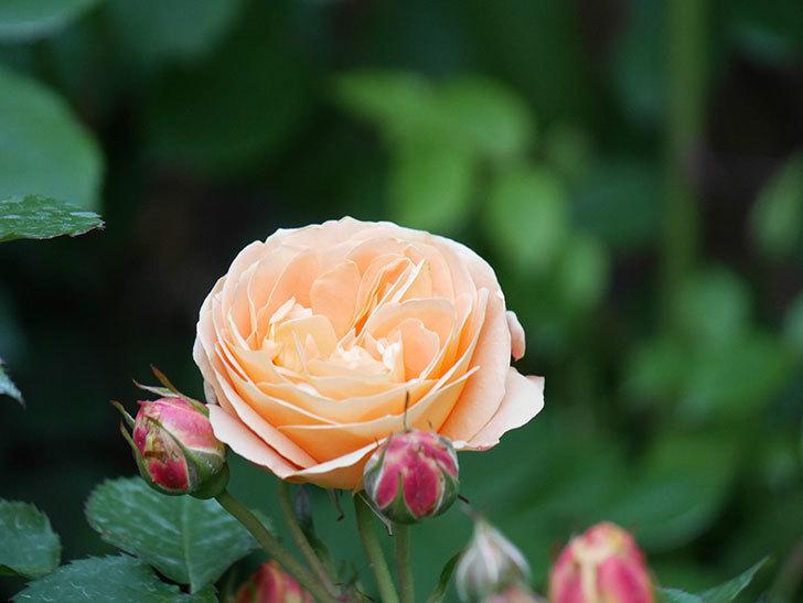 ラ・ドルチェ・ヴィータ(La Dolce Vita)の花がぽつぽつ咲きだした。木立バラ。2021年-016.jpg