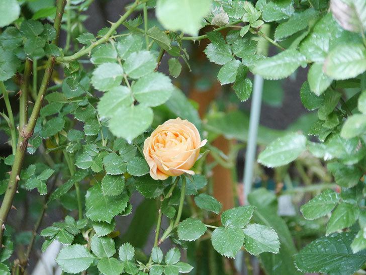 ラ・ドルチェ・ヴィータ(La Dolce Vita)の花がぽつぽつ咲きだした。木立バラ。2021年-017.jpg