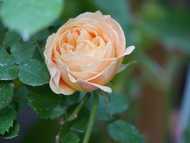 ラ・ドルチェ・ヴィータ(La Dolce Vita)の花がぽつぽつ咲きだした。木立バラ。2021年-018.jpg