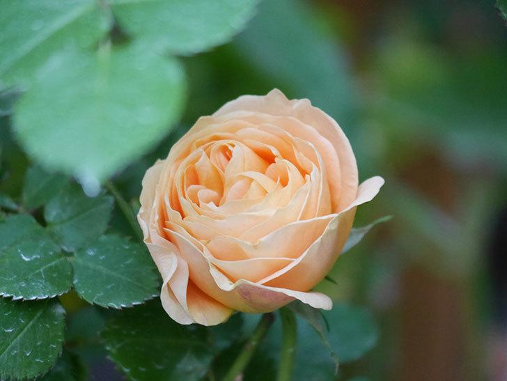 ラ・ドルチェ・ヴィータ(La Dolce Vita)の花がぽつぽつ咲きだした。木立バラ。2021年-019.jpg