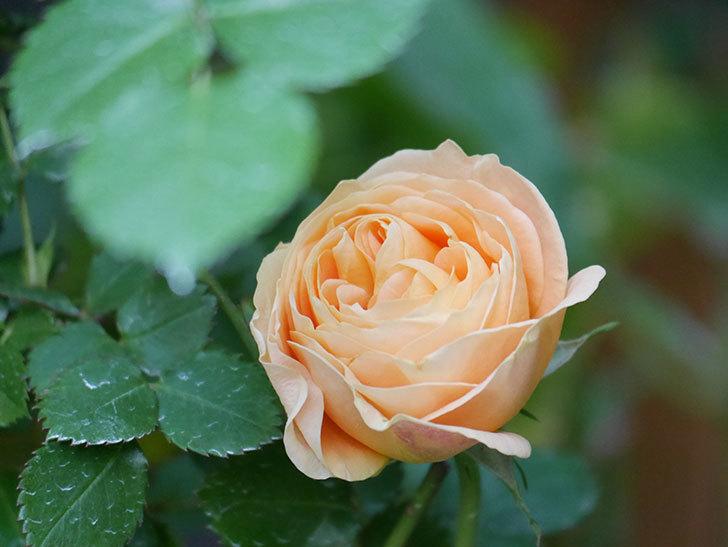 ラ・ドルチェ・ヴィータ(La Dolce Vita)の花がぽつぽつ咲きだした。木立バラ。2021年-020.jpg