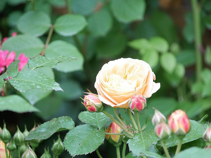ラ・ドルチェ・ヴィータ(La Dolce Vita)の花がぽつぽつ咲きだした。木立バラ。2021年-021.jpg