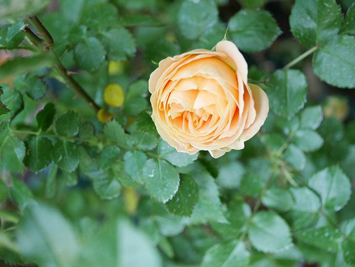 ラ・ドルチェ・ヴィータ(La Dolce Vita)の花がぽつぽつ咲きだした。木立バラ。2021年-022.jpg