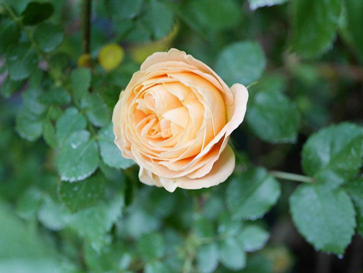 ラ・ドルチェ・ヴィータ(La Dolce Vita)の花がぽつぽつ咲きだした。木立バラ。2021年-023.jpg