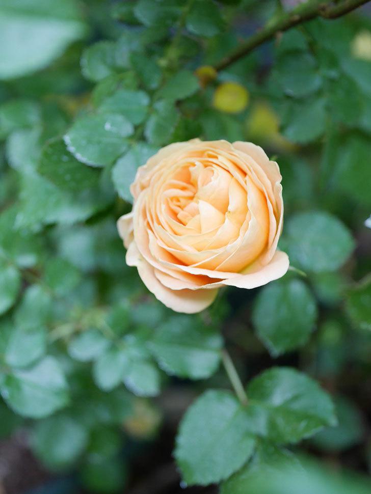 ラ・ドルチェ・ヴィータ(La Dolce Vita)の花がぽつぽつ咲きだした。木立バラ。2021年-024.jpg