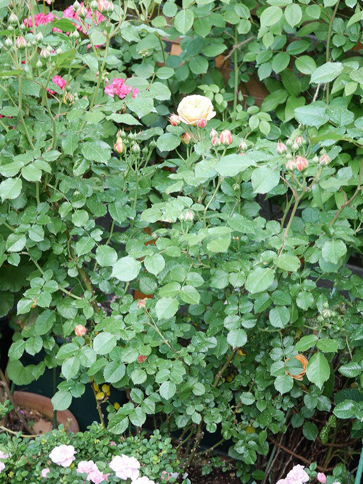 ラ・ドルチェ・ヴィータ(La Dolce Vita)の花がぽつぽつ咲きだした。木立バラ。2021年-026.jpg