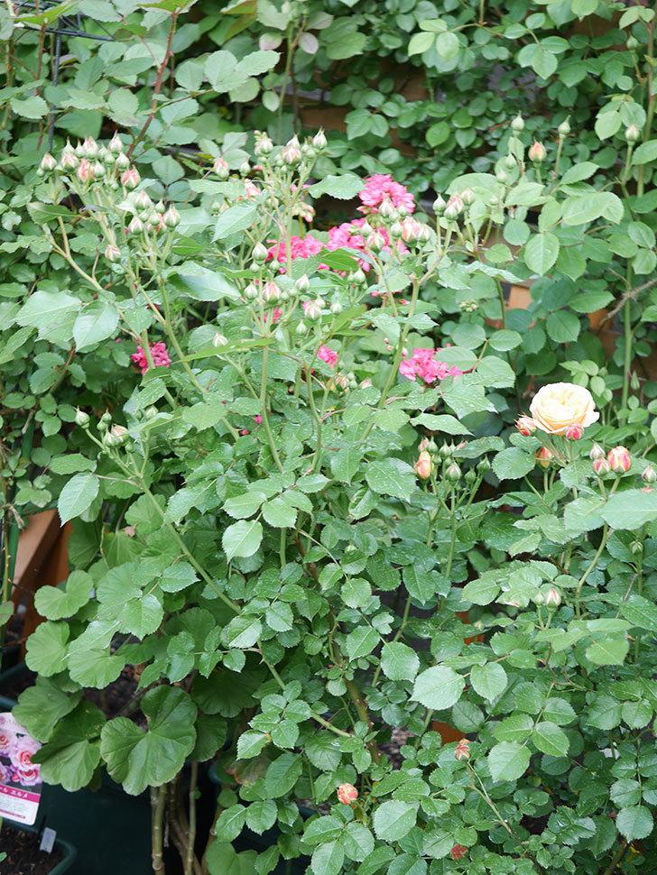 ラ・ドルチェ・ヴィータ(La Dolce Vita)の花がぽつぽつ咲きだした。木立バラ。2021年-027.jpg