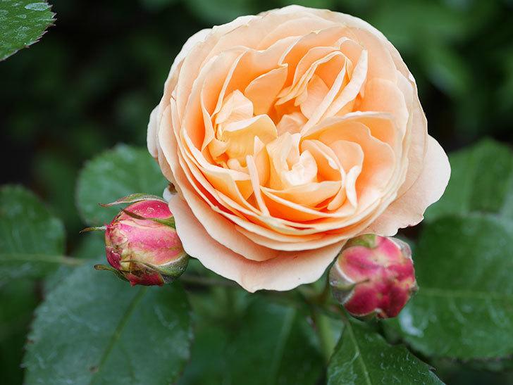 ラ・ドルチェ・ヴィータ(La Dolce Vita)の花がぽつぽつ咲きだした。木立バラ。2021年-028.jpg