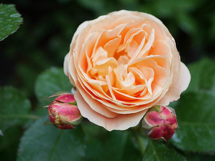 ラ・ドルチェ・ヴィータ(La Dolce Vita)の花がぽつぽつ咲きだした。木立バラ。2021年-029.jpg