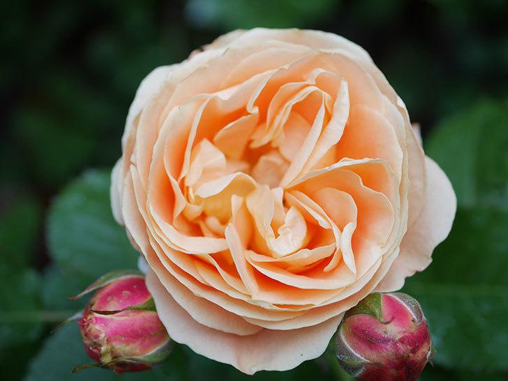 ラ・ドルチェ・ヴィータ(La Dolce Vita)の花がぽつぽつ咲きだした。木立バラ。2021年-030.jpg