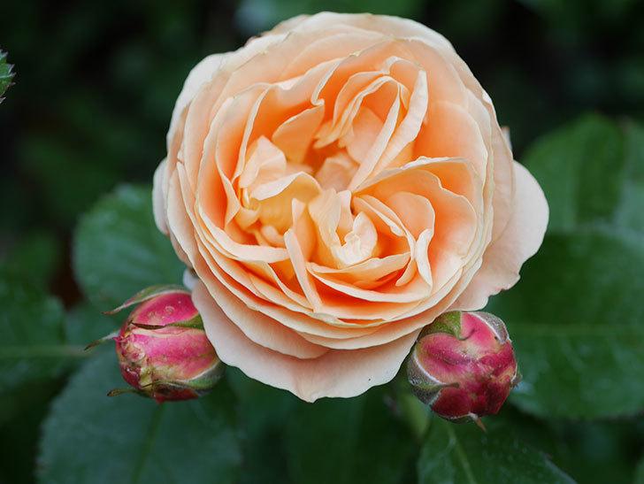 ラ・ドルチェ・ヴィータ(La Dolce Vita)の花がぽつぽつ咲きだした。木立バラ。2021年-031.jpg