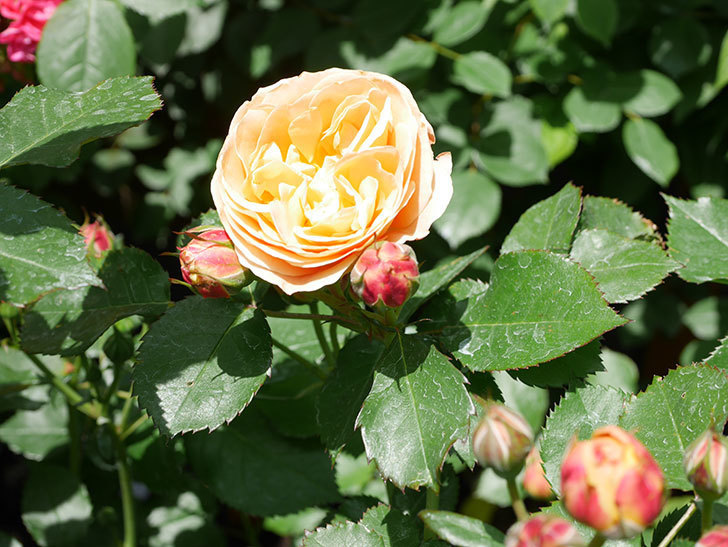 ラ・ドルチェ・ヴィータ(La Dolce Vita)の花がぽつぽつ咲きだした。木立バラ。2021年-032.jpg