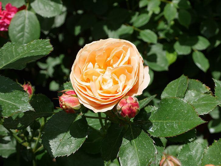 ラ・ドルチェ・ヴィータ(La Dolce Vita)の花がぽつぽつ咲きだした。木立バラ。2021年-033.jpg
