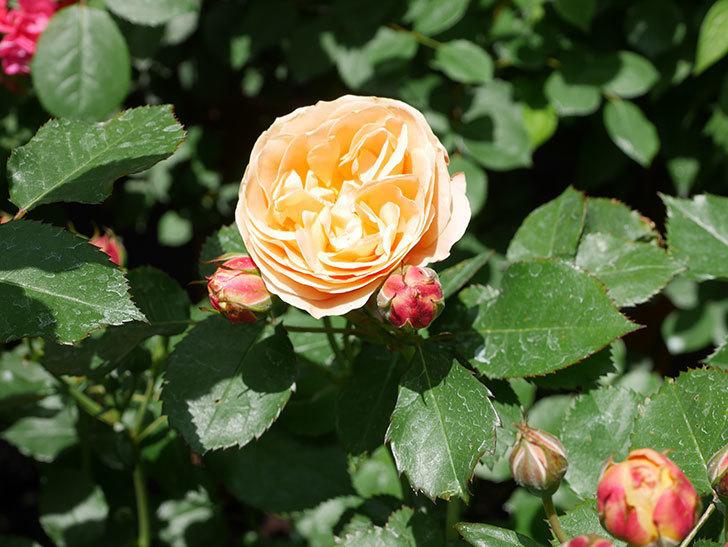 ラ・ドルチェ・ヴィータ(La Dolce Vita)の花がぽつぽつ咲きだした。木立バラ。2021年-034.jpg