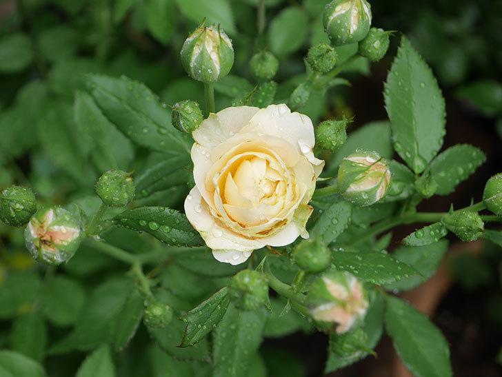 ラ・ドルチェ・ヴィータ(La Dolce Vita)の花が咲いた。木立バラ。2020年-001.jpg