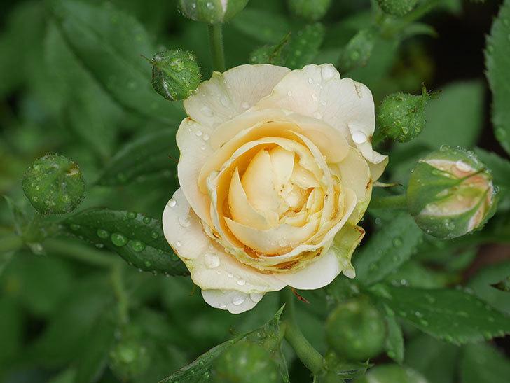 ラ・ドルチェ・ヴィータ(La Dolce Vita)の花が咲いた。木立バラ。2020年-003.jpg